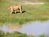 Ngorongoro - lioness reflects