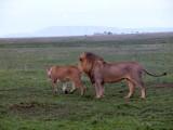 Serengeti mates 2