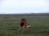 Serengeti mates 3