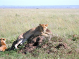 Serengeti pride: she looked like the leader to us