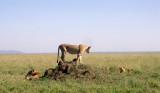 Serengeti queen 1