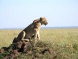 Serengeti queen 2