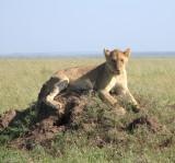 Serengeti queen 3