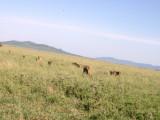 Serengeti pride - going......