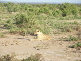 Amboseli mother - first lion we saw on the trip