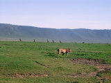 Ngorongoro: check out the wildebeest in rapt attention in the background