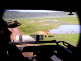Ngorongoro -- pretty close to the car this one, the females walked within a foot of the jeep!