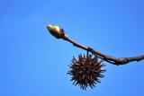 Sweetgum bud and seed ball