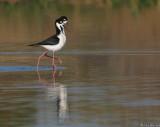 Black necked stilts, post breeding strut