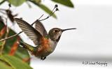 Hummingbird Dance
