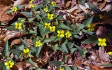 Halberdleaf Yellow Violet 1