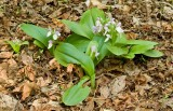 Showy Orchis 2