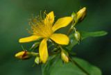 St Johnswort 1