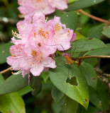 Carolina Rhododendron 3