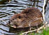 0045-Beaver.jpg