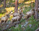 Sheep-001.jpg