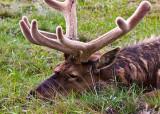 0059-Elk.jpg