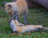 005-Fox.jpg
