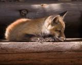 006-Fox.jpg
