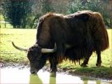 Yak Bull.