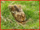 Hare.