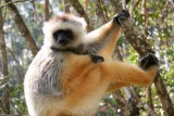 Diademed Sifaka. The Diademed, one of the largest lemurs, is also endangered. Less than 10,000 left.
