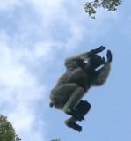 Airborne Indri