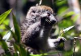 Grey Bamboo Lemur