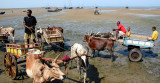 Zebu carts are the best way to get to the boats in Tulear harbor