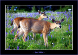 Black Tail Does in the Lupine