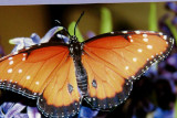 Male Queen butterfly picture on greeting card
