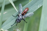 Cylindromyia bicolor