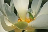 Grasshopper on Lotus