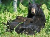 Bear Cubs Two Nursing