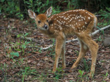 Fawn in Brown Leaves