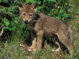 Coyote Pup Chewing Twig