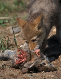 Coyote Pup Chewing Rabbit
