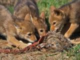 Coyote Pups Three Eating Rabbit