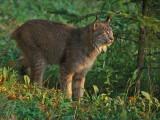 Lynx Morning Lite