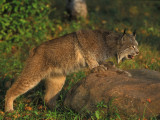 Lynx Waiting to Pounce
