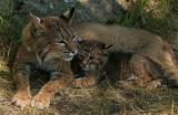 Bobcat Mom with Babe
