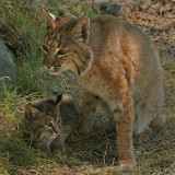 Bobcat Mom Protecting Babe
