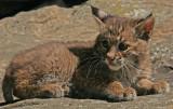 Bobcat Babe Listening