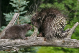 Porcupine Mom and Babe