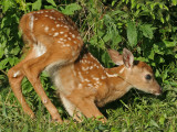 Fawn Starting Down