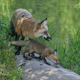Cross Fox and Pup on Rock