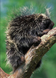 Porcupine Adult in Fork