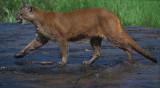 Cougar Running Thru Water