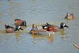 Green-winged and Blue-winged Teal