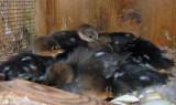 Hooded Merganser Hatchlings